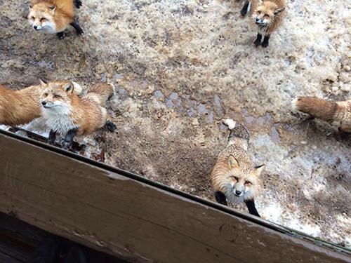 fox_11